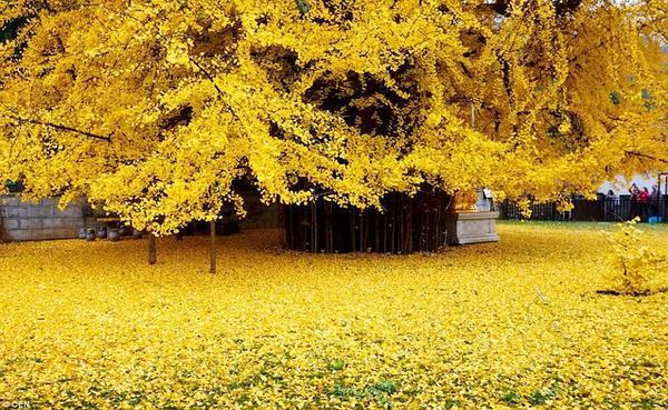 Khoảng sân chùa được phủ một lớp lá dày giống như một tấm thảm vàng kỳ diệu.