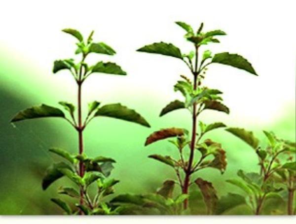 tulsi-plants