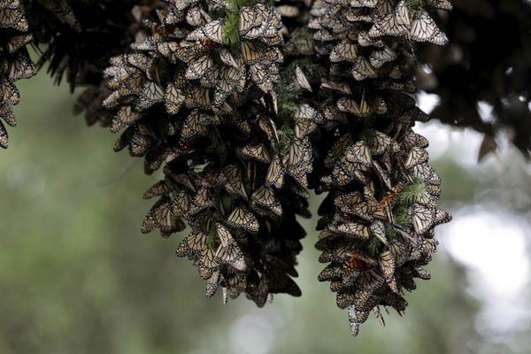 Hàng trăm chú bướm vua đậu trên cây thông, chúng bay cả chặng đường gần 5000 km từ Canada đến Angangueo, Mexico để tránh mùa đông.