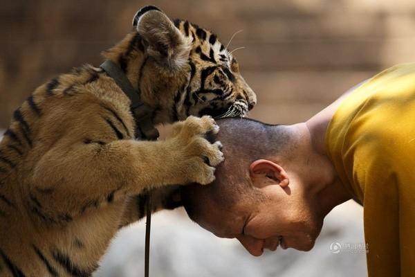 Khung cảnh chú hổ và nhà sư đang đùa nghịch rất vui vẻ được chụp vào ngày 12/1 tại một ngôi đền ở tỉnh Kanchanaburi, Thái Lan.