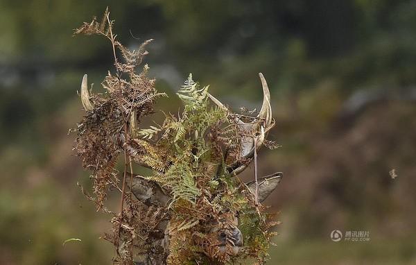 Bức ảnh chụp chú hươu đầu toàn lá cây dương xỉ được chụp tại London, Anh vào ngày 16/10.