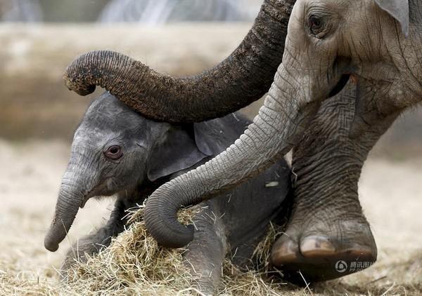 Bức ảnh chú voi con đang tập đứng dưới sự trợ giúp của voi mẹ được chụp vào ngày 25/5 tại Bỉ.