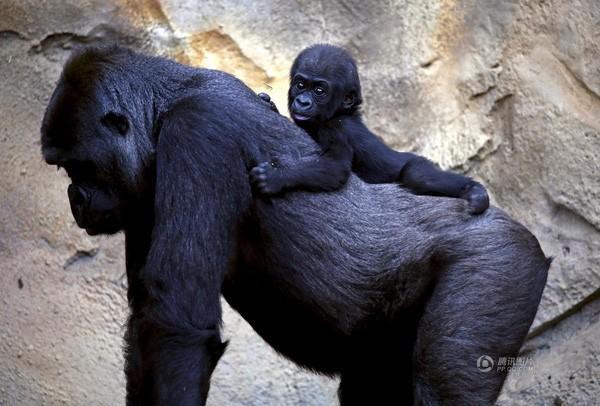 Chú vượn con nằm trên lưng mẹ được chụp vào ngày 19/5 tại một vườn thú ở Sydney, Úc.