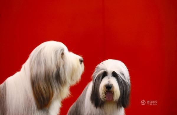 Hai chú chó đáng yêu trong một buổi triển lãm dành cho chó được tổ chức vào ngày 6/3 tại Birmingham, Anh.