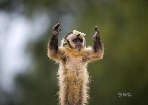 Bức ảnh chú khỉ con đang làm trò ở Olsene, Bỉ được chụp vào ngày 2/9.