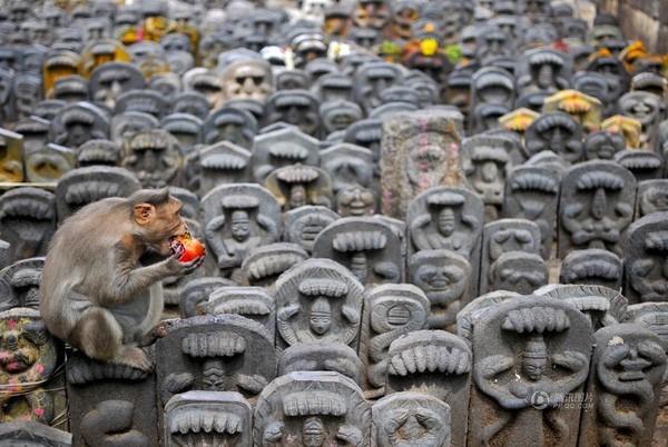 Chú khỉ say sưa gặm hoa quả ở một ngôi đền tại Bangalore, Ấn Độ vào ngày 19/8.