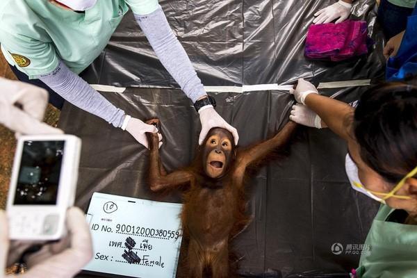 Ngày 27/8, tại Ratchaburi ở miền Trung Thái Lan, các bác sĩ thú y tiến hành kiểm nghiệm chú tinh tinh bị thu giữ từ đường dây buôn lậu trái phép, trước khi trả con vật tội nghiệp về nơi sinh sống trước kia của nó.