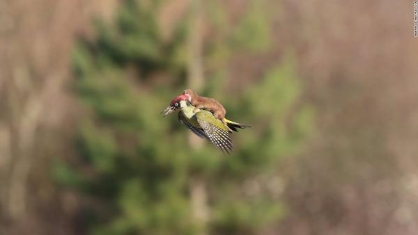 Một chú chồn con bám trên lưng chim gõ kiến trong công viên Hornchurch Country, London.