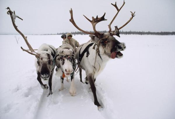 Ba chú tuần lộc kéo xe trong trời tuyết lạnh ở Nga. Ảnh xuất hiện trên tạp chí National Geographic năm 1983.