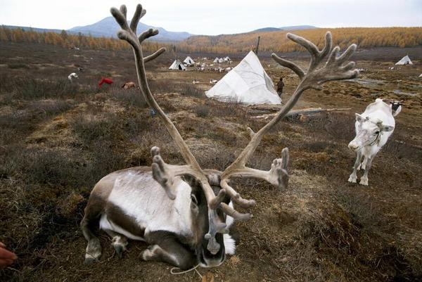 Một chú tuần lộc với cặp sừng to lớn đang nằm nghỉ trước túp lều của người du mục Tsaatan ở Mông Cổ.