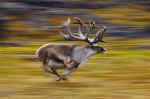 """Tuần lộc mùa xuân bị """"chộp"""" khi đang chạy ở Svalbard, Na Uy vào năm 2007."""