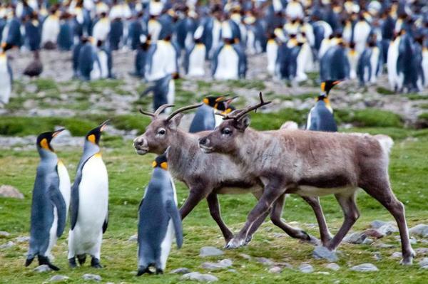 Hai chú tuần lộc chưa trưởng thành đi bên cạnh những chú chim cánh cụt hoàng đế trên Vịnh Fortuna của đảo South Georgia. Những chú tuần lộc này tới từ phương Bắc, và được tàu săn cá voi mang tới South Georgia vào những năm đầu thế kỷ 20.