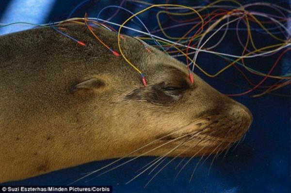 Những con sư tử biển bị mất trí nhớ được đưa về Trung tâm Động vật biển có vú để nghiên cứu và điều trị.