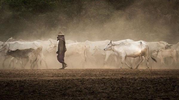 Hình ảnh những đàn bò trắng hiền lành đã trở thành một nét đẹp đặc trưng của Myanmar.