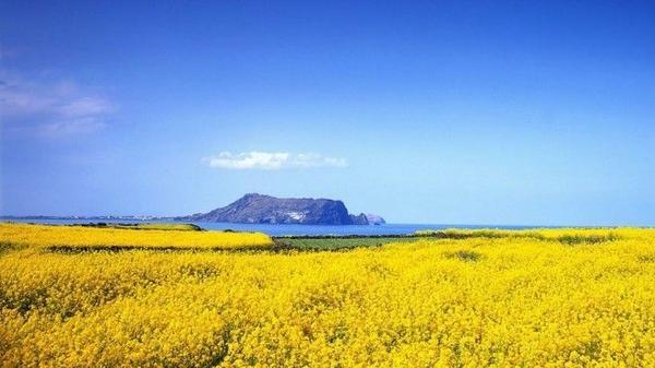 Những cánh đồng cải vàng rực dưới trời xanh, cạnh bờ biển mênh mông cũng là một khung cảnh thu hút nhiều du khách đến với đảo. Ảnh: Cheapvacationholiday.