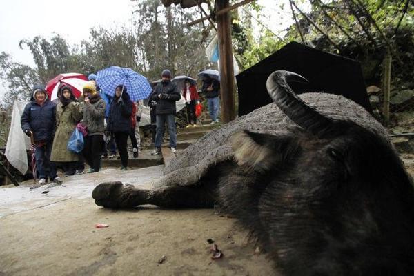 Du khách tò mò khi thấy một con trâu bị cước chân, sắp chết do lạnh giá bên hiên nhà một người Mông - Ảnh: Nam Trần
