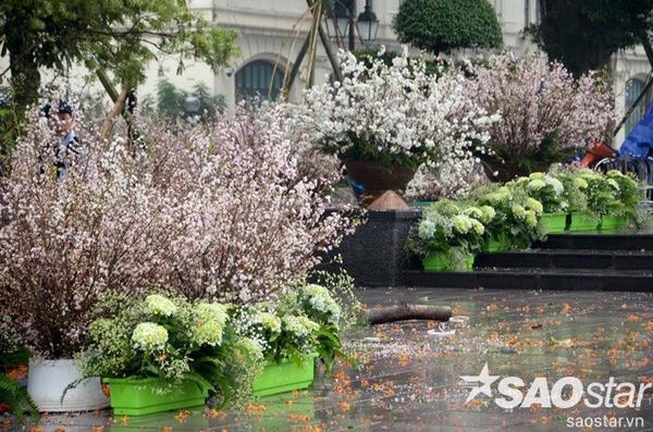 200 cây và 10.000 cành hoa anh đào đã được chuyển về Hà Nội chuẩn bị đón khách thăm quan.