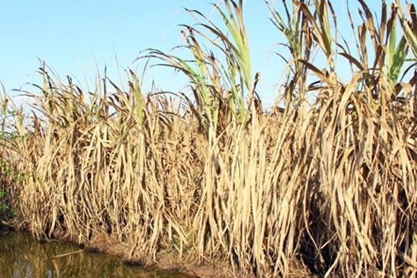 Hàng nghìn ha mía ở Sóc Trăng chết cháy từng ngày do hạn mặn kéo dài.