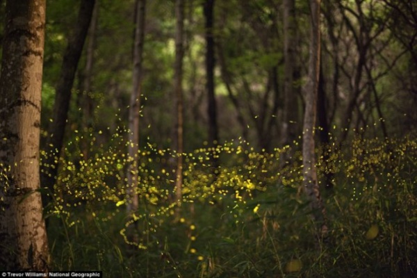 """Đom đóm tạo thành """"dòng sông ánh sáng"""" trong rừng ở Okayama, Nhật Bản:"""