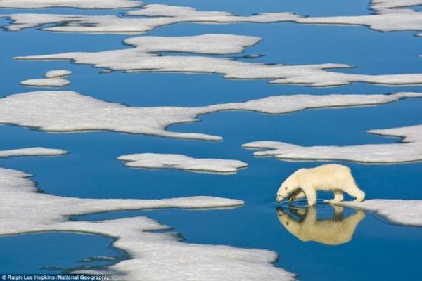 Một chú gấu Bắc cực ở Svalbard, Na Uy