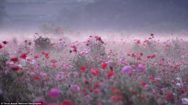 Đồng hoa dại trong sương sớm ở Shimotsuma, Nhật Bản