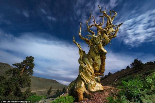 Cây cổ thụ như nhảy múa ở Rừng quốc gia Inyo, California