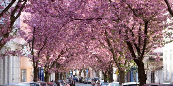 Tuy nhiên, mỗi mùa hoa chỉ kéo dài 2-3 tuần. Nếu có dịp ghé thăm nước Đức, bạn đừng nên bỏ lỡ cơ hội chiêm ngưỡng con đường thơ mộng này. Ảnh: Huffpost.