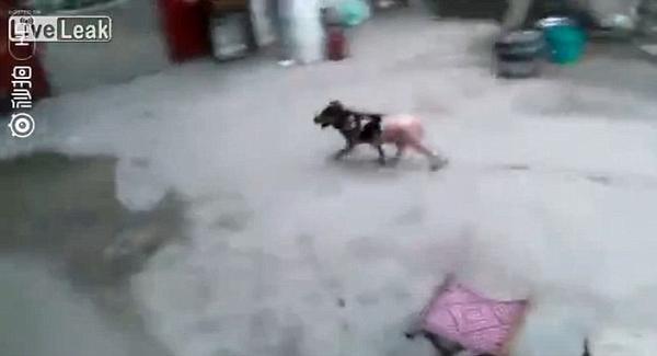Chú chó vùng dậy chạy thoát dù bị luộc sống, vặt lông khiến nhiều người xót xa