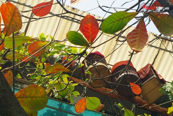 Trên phố Hàng Bông, hình ảnh lá bàng gắn liền với những chiếc lồng chim treo trên gác mái của người dân sống trong phố cũ.
