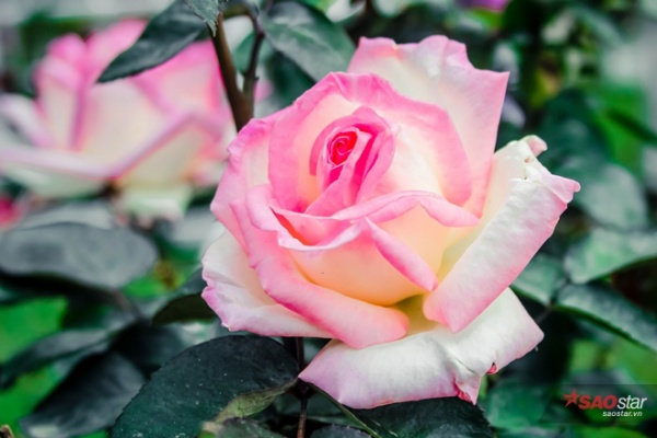 Bên trong khuôn viên lễ hội hoa hồng Bulgaria quy tụ rất nhiều loại hoa hồng quý hiếm, trong đó có cả những bụi hồng cổ có tuổi thọ vài chục năm.       Lễ hội hoa hồng Bulgaria quy tụ rất nhiều loại hoa hồng quý hiếm và có tuổi thọ cao.  Nhưng ý nghĩa nhất của lễ hội là mang tới Thủ đô một không gian đầy cảm hứng cho tất cả phụ nữ yêu hoa hồng khi ngày Quốc tế Phụ nữ sắp tới, đây cũng là dịp gặp mặt quý giá của nhiều cựu du học sinh Việt Nam - Bulgaria một thời.