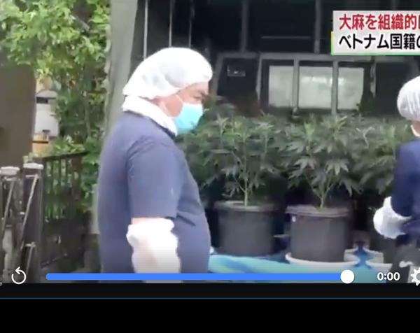 Nhật Bản: Hai người Việt bị bắt vì tội trồng và tàng trữ cần sa