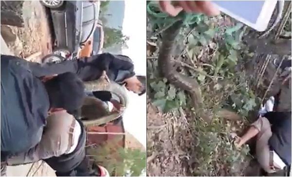 Xôn xao clip người dân dùng kích điện vây bắt 'đại mãng xà' ở Vĩnh Phúc