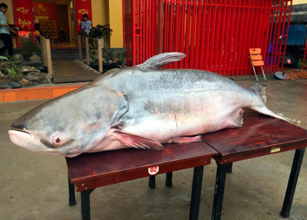 'Quái ngư' dài 2,3m nặng 1,6 tạ từ Campuchia về Việt Nam