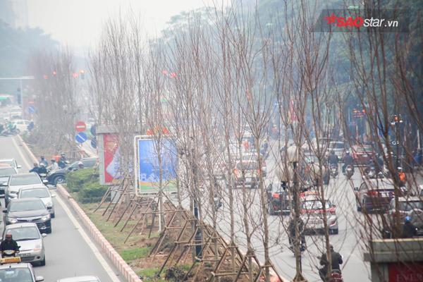 Phong lá đỏ được trồng trên phố Trần Duy Hưng.