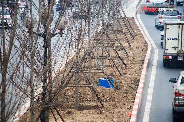 Hình ảnh 100 cây lá phong vừa được trồng ở Hà Nội