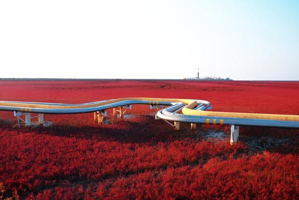 Biển Đỏ ở Trung Quốc được bao phủ bởi loài tảo có tên gọi là Sueda, tạo nên một cảnh tượng rực rỡ hiếm thấy vào mùa thu.