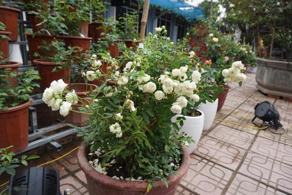 Một chậu hồng trắng bung nở tuyệt đẹp.