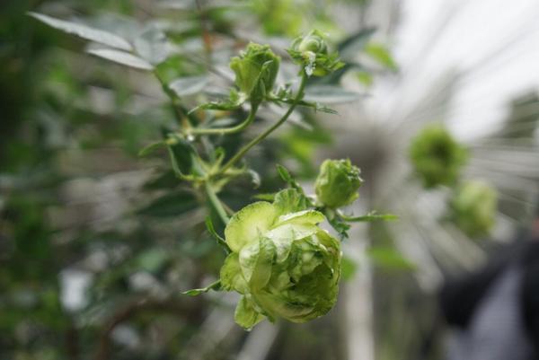 Nhiều người rất yêu thích loài hoa hồng này bởi vẻ độc, lạ của chúng và có giá không hề rẻ.