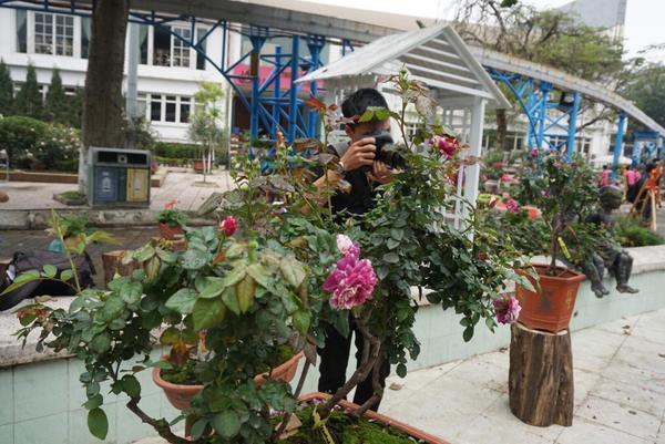 Các cây hồng cổ của Việt Nam, hồng bonsai trị giá hàng trăm triệu đồng.