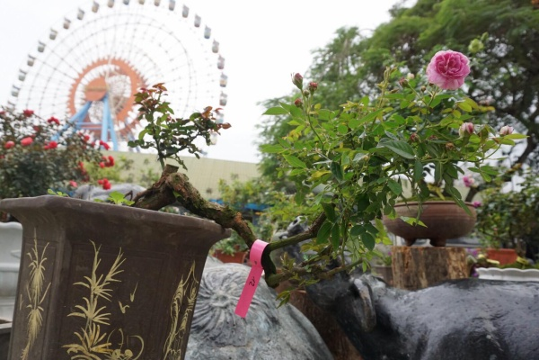 Những cây hồng dáng đẹp như thế này có giá hàng chục cho đến hàng trăm triệu đồng.