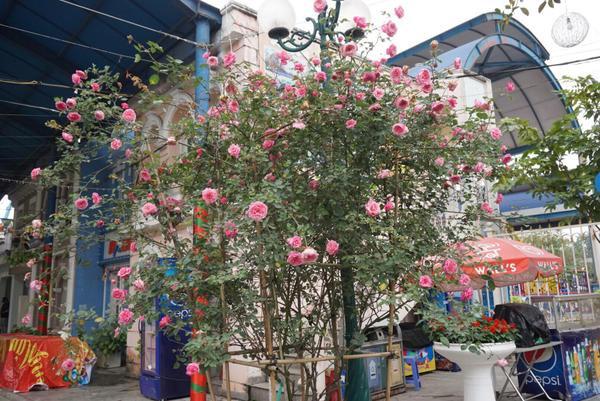 BTC đã mời các chủ vườn hoa hồng lớn tại miền Bắc tham gia như làng hoa Xuân Quan - Hưng Yên, Thung lũng hoa Hồ Tây, Hội cây cảnh nghệ thuật Thăng Long… Ngoài các cây hồng đến từ Bulgaria, những gốc hồng cổ của Việt Nam có độ tuổi từ vài chục năm trở lên, các cây hồng ngoại, hồng bonsai cũng được dịp khoe sắc trong suốt 4 ngày diễn ra lễ hội.