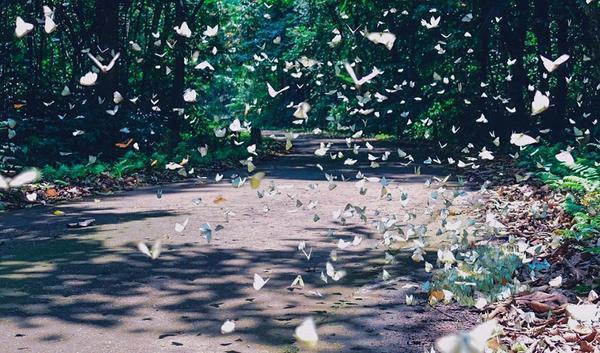 """Với vẻ đẹp huyền ảo ấy, nhiều người ví mùa bướm là """"đặc sản"""" của Cúc Phương."""